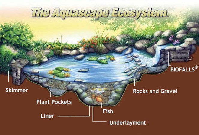 Pond ecosystem stone age landscaping for Backyard pond plants and fish